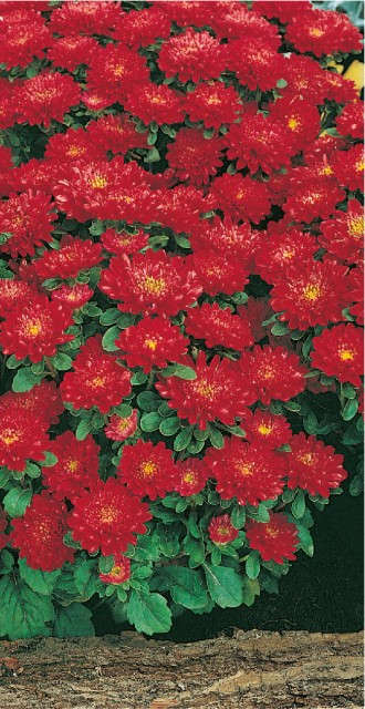 Astra nízka Prúhonický trpaslík - šarlátová červená