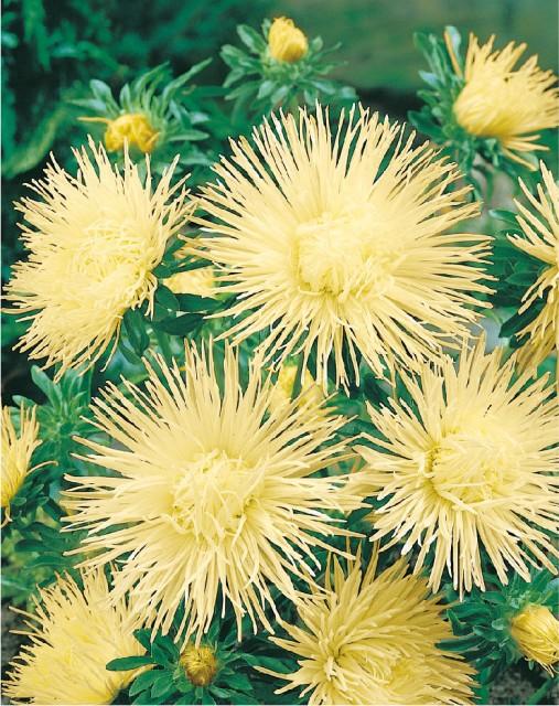 Astra vysoká ihlicovitá - žltá