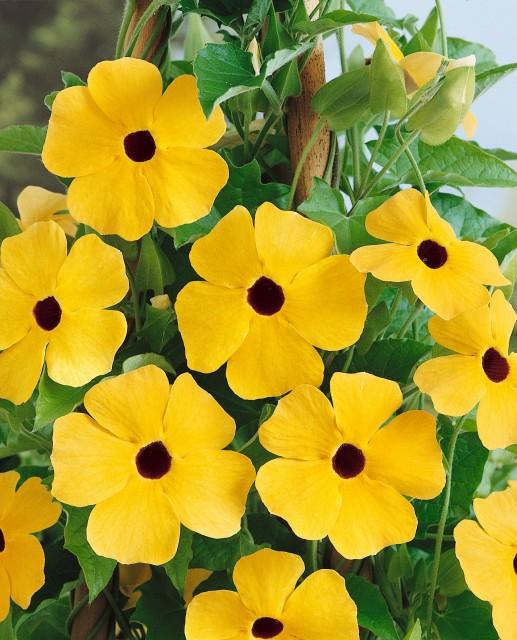 Čiernooká Zuzana - ťahavá žltá