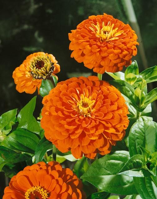 Cínia georgínokvetá – oranžová