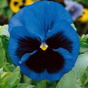 Fialka sirôtka - modrá s okom